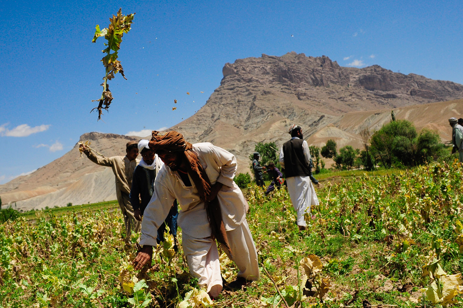Afghans in Farah Province destroy a poppy field. Poppies are used in the production of opium. By ResoluteSupportMedia.