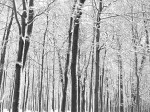 """Winter Forest in black and white,"" Montreal, December 18, 2003. By: Franz Dejon."